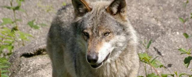 loups-francesoir